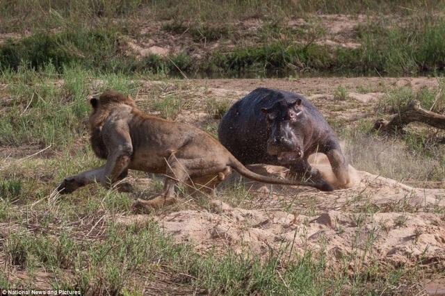 Chùm ảnh: Hà mã và cuộc chiến sống còn với những con sư tử đói - 5