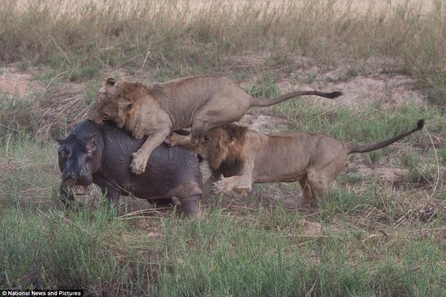 Chùm ảnh: Hà mã và cuộc chiến sống còn với những con sư tử đói - 7