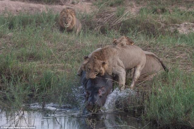 Chùm ảnh: Hà mã và cuộc chiến sống còn với những con sư tử đói - 8