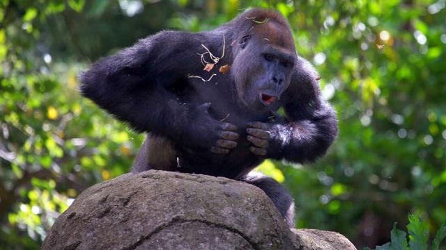Khỉ đột vỗ ngực để làm gì? - 1