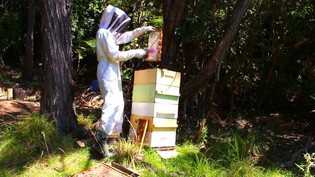 Loại mật ong siêu đắt đỏ, thu hoạch bằng… trực thăng - 2