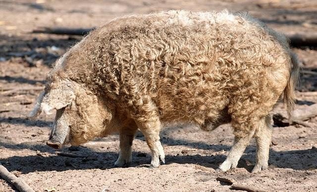 Bí mật về loài lợn bảo vật ngon nhất thế giới, giá gần nửa triệu đồng/ kg - 1