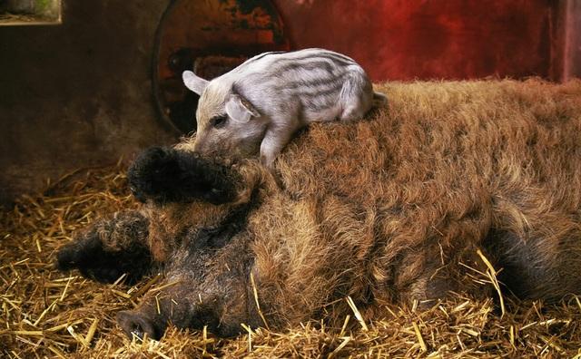 Bí mật về loài lợn bảo vật ngon nhất thế giới, giá gần nửa triệu đồng/ kg - 3