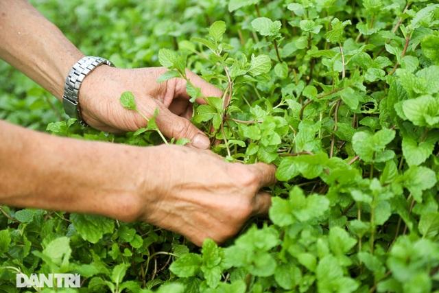 Ám ảnh rau bẩn, người Hà Nội rủ nhau trồng rau hốc đá quanh hồ Tây - 2