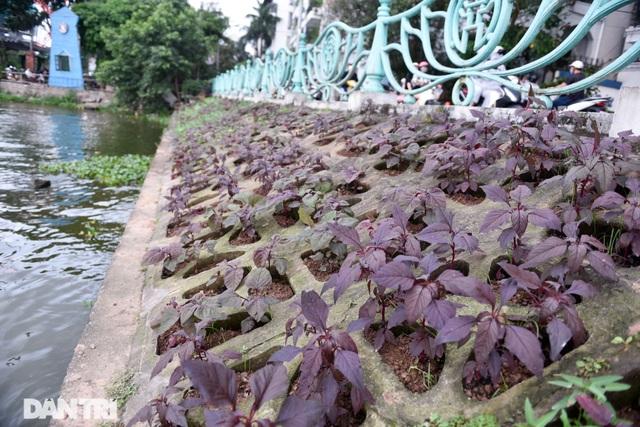 Ám ảnh rau bẩn, người Hà Nội rủ nhau trồng rau hốc đá quanh hồ Tây - 12