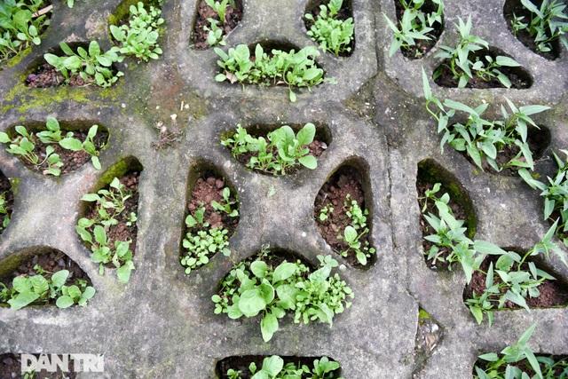 Ám ảnh rau bẩn, người Hà Nội rủ nhau trồng rau hốc đá quanh hồ Tây - 5