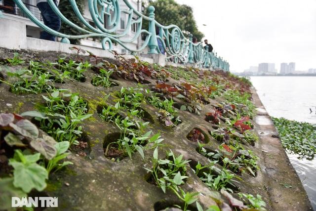 Ám ảnh rau bẩn, người Hà Nội rủ nhau trồng rau hốc đá quanh hồ Tây - 10