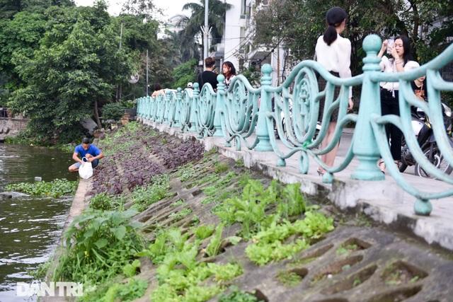 Ám ảnh rau bẩn, người Hà Nội rủ nhau trồng rau hốc đá quanh hồ Tây - 9