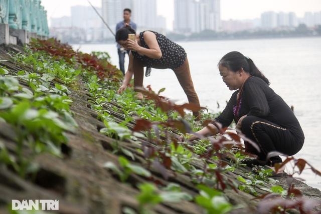 Ám ảnh rau bẩn, người Hà Nội rủ nhau trồng rau hốc đá quanh hồ Tây - 4