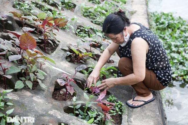 Ám ảnh rau bẩn, người Hà Nội rủ nhau trồng rau hốc đá quanh hồ Tây - 6