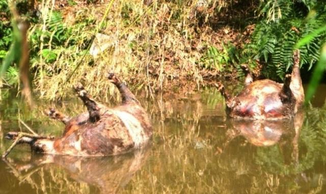 Kinh hãi xác lợn chết nổi dọc khe nước, bốc mùi hôi thối - 1
