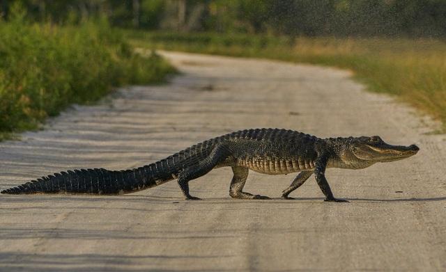 Hoảng hồn cảnh cá sấu ồ ạt lên bờ đi tìm tình yêu ở Mỹ - 1