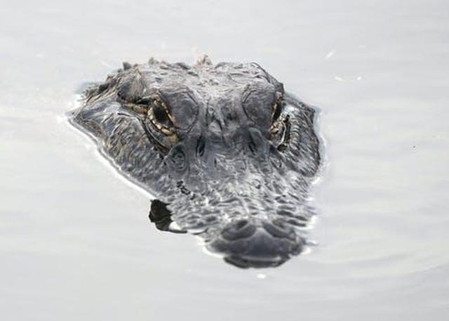 Hoảng hồn cảnh cá sấu ồ ạt lên bờ đi tìm tình yêu ở Mỹ - 2