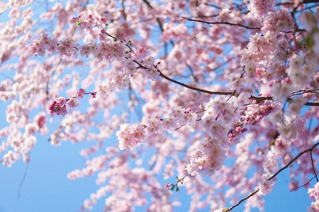 Mùa hoa anh đào đẹp nao lòng qua góc nhìn nữ sinh Việt tại Anh - 10