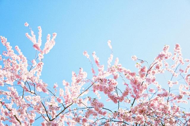 Mùa hoa anh đào đẹp nao lòng qua góc nhìn nữ sinh Việt tại Anh - 12
