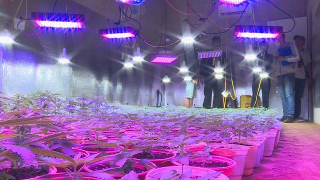 Trang bị hệ thống đèn tia cực tím đắt tiền để trồng cả ngàn cây cần sa - 1
