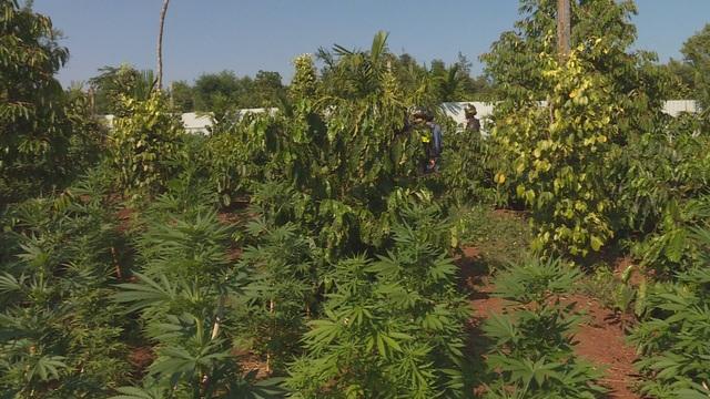 Trang bị hệ thống đèn tia cực tím đắt tiền để trồng cả ngàn cây cần sa - 2