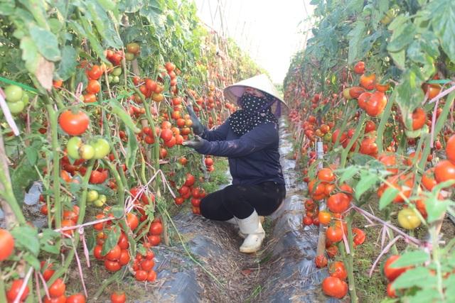 Dân ứa nước mắt nhìn cà chua chín đỏ ruộng nhưng không có người mua - 4