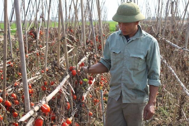 Dân ứa nước mắt nhìn cà chua chín đỏ ruộng nhưng không có người mua - 3