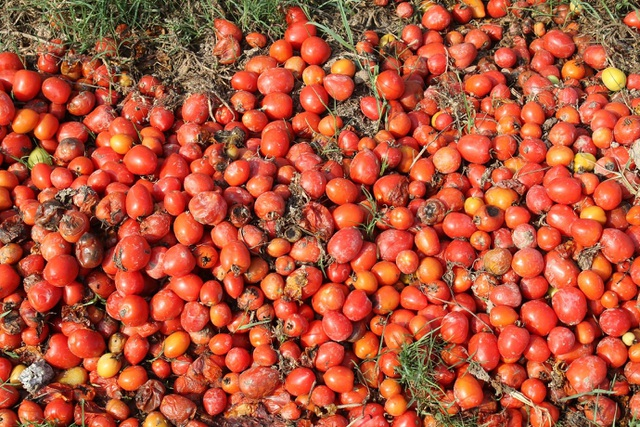 Dân ứa nước mắt nhìn cà chua chín đỏ ruộng nhưng không có người mua - 5