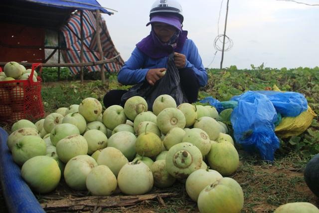 Người dân Quảng Trị thu tiền triệu mỗi ngày nhờ bán dưa - 3