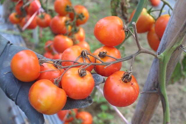 Dân ứa nước mắt nhìn cà chua chín đỏ ruộng nhưng không có người mua - 2