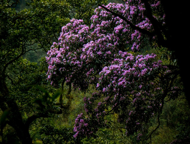 Cảnh sắc như cổ tích của cánh rừng đỗ quyên tím trời Tây Bắc - 6