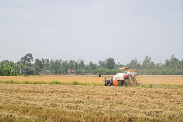 Lúa chín đầy đồng, cò ép giá, nông dân như ngồi trên đống lửa - 2