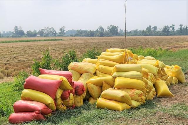 Lúa chín đầy đồng, cò ép giá, nông dân như ngồi trên đống lửa - 1