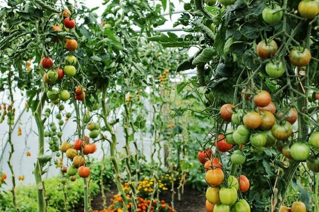 Vườn rau ngon, trái ngọt muốn ăn lúc nào cũng có của chàng trai phố thị - 5