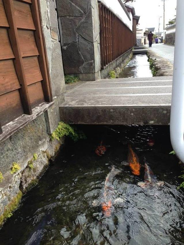 Nơi cá Koi thoải mái bơi lội dưới cống ở Nhật Bản - 1