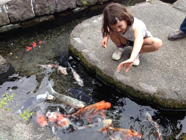 Nơi cá Koi thoải mái bơi lội dưới cống ở Nhật Bản - 2