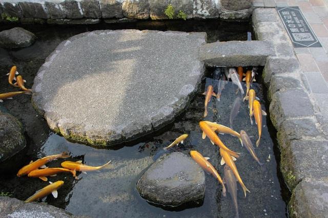 Nơi cá Koi thoải mái bơi lội dưới cống ở Nhật Bản - 4