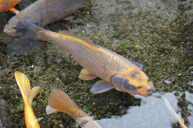 Nơi cá Koi thoải mái bơi lội dưới cống ở Nhật Bản - 3