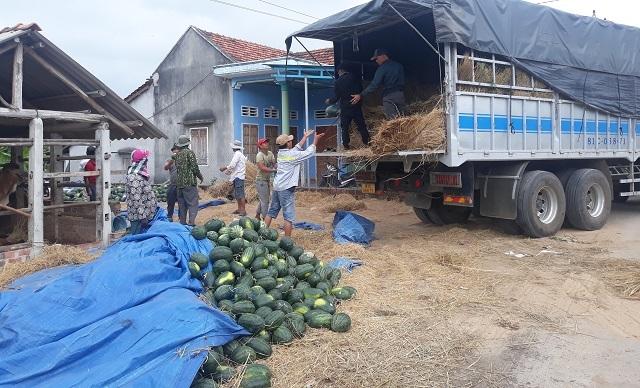 Dưa hấu tăng giá, nông dân Bình Định phấn khởi, không lo chờ... giải cứu - 1