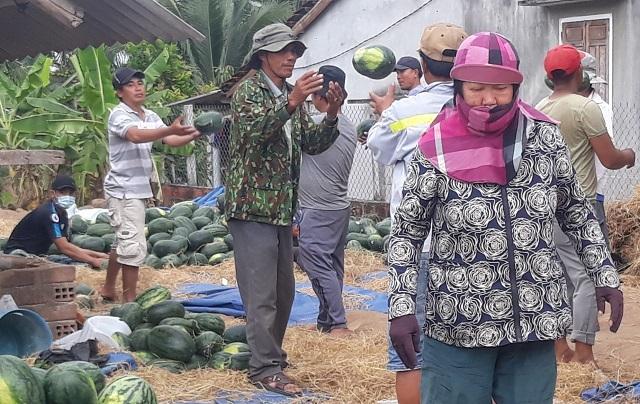 Dưa hấu tăng giá, nông dân Bình Định phấn khởi, không lo chờ... giải cứu - 3