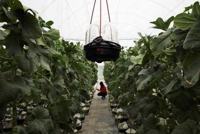 Lạ lùng nông dân mát-xa, bật nhạc trồng loại dưa có giá đắt như vàng - 3