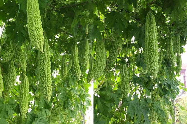 Vườn sân thượng rau trái lạ có kích thước khổng lồ của ông bố Sài Gòn - 7