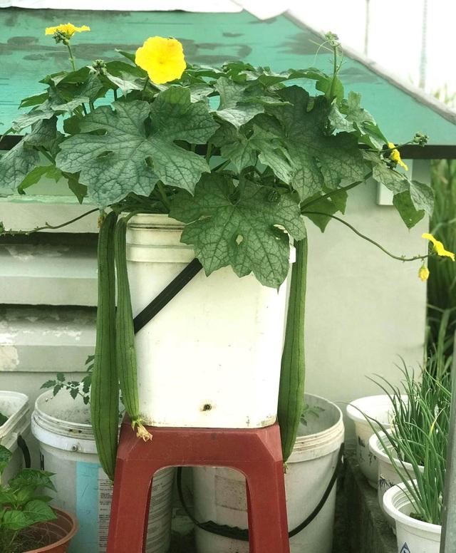 Vườn sân thượng rau trái lạ có kích thước khổng lồ của ông bố Sài Gòn - 8