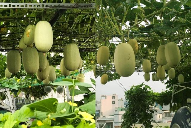 Vườn sân thượng rau trái lạ có kích thước khổng lồ của ông bố Sài Gòn - 10