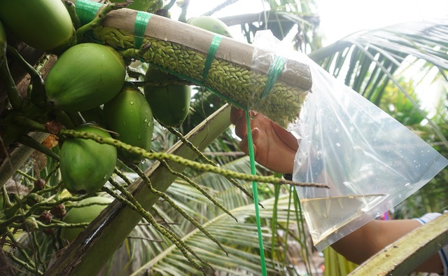 Bến Tre: Trồng dừa lấy mật từ hoa nông dân sống khỏe - 1
