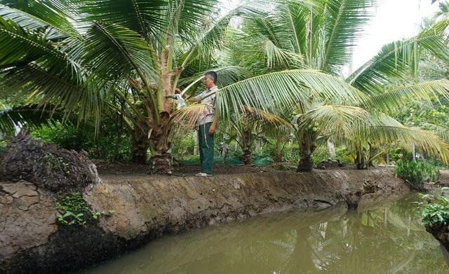 Bến Tre: Trồng dừa lấy mật từ hoa nông dân sống khỏe - 3