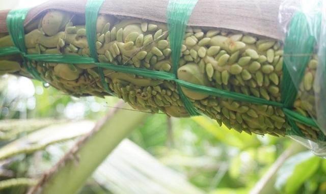 Bến Tre: Trồng dừa lấy mật từ hoa nông dân sống khỏe - 2
