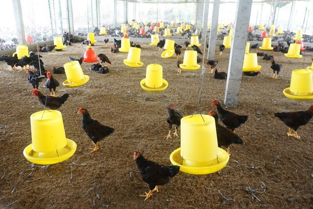 Lão nông Tiền Giang giúp hàng xóm khá lên nhờ giống gà... đặc chủng - 2