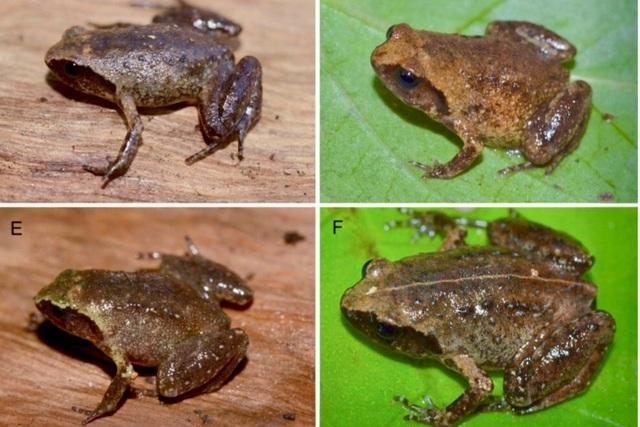 Đoàn chuyên gia quốc tế phát hiện loài ếch tí hon dài... 14mm ở Hà Tĩnh - 1