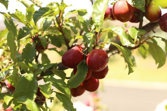 Rau tươi, trái ngọt trĩu trịt trong vườn nhà của cô gái ở Australia - 7