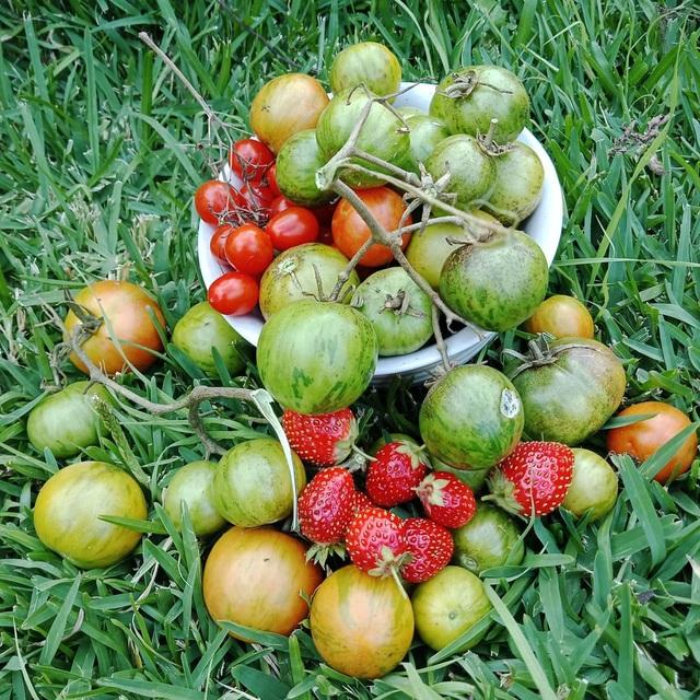 Rau tươi, trái ngọt trĩu trịt trong vườn nhà của cô gái ở Australia - 8