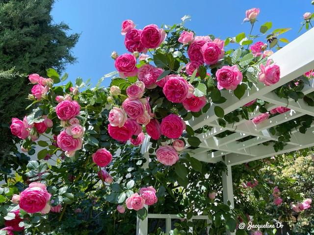 Ngắm vườn ngàn gốc hoa khoe sắc quanh năm của mẹ Việt ở Mỹ - 4
