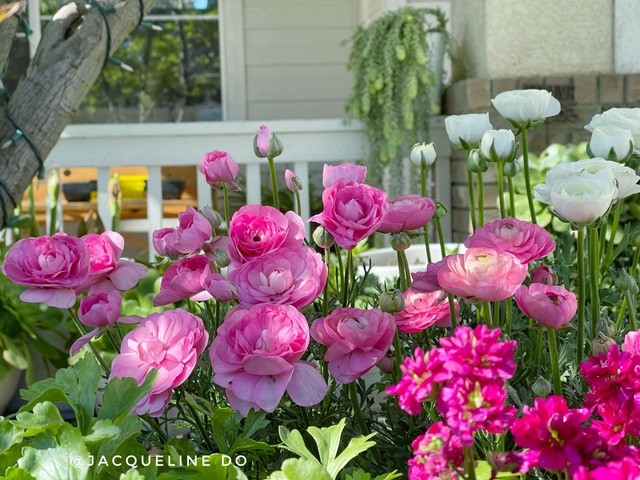Ngắm vườn ngàn gốc hoa khoe sắc quanh năm của mẹ Việt ở Mỹ - 6