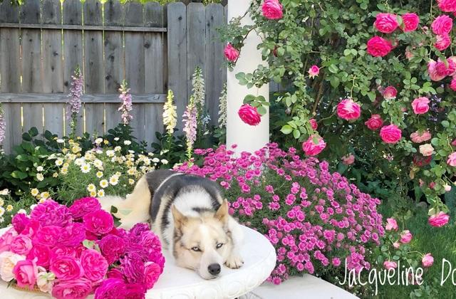 Ngắm vườn ngàn gốc hoa khoe sắc quanh năm của mẹ Việt ở Mỹ - 7